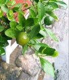Kalk in de tuin Stock Fotografie