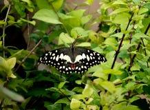 Kalk-Schmetterling auf Zitrusfrucht-Anlage lizenzfreie stockfotos