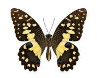 Kalk-Schmetterlingsunterflügel-Profilisolat auf weißem Hintergrund lizenzfreie stockfotografie