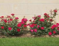 Kalk-Stein und Rosen Stockbilder