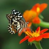 kalk vlinder stock afbeeldingen