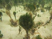 Kalkartade alger Royaltyfri Fotografi