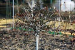 Kalkat skydd för vår för krusbärträd Royaltyfri Fotografi