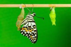 Kalkbasisrecheneinheit (Papilio demoleus malayanus) Lizenzfreie Stockfotos