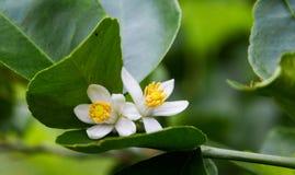 Kalkblume, die auf Limettenbaum blüht Lizenzfreie Stockfotografie