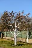 Kalkdeklaag als bescherming voor fruitbomen stock afbeelding
