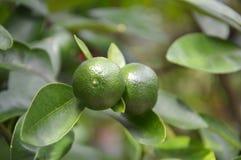 Kalkfrucht Lizenzfreies Stockfoto