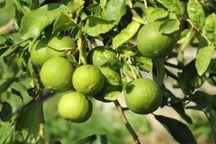 Kalkfrucht stockfoto