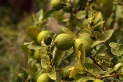 Kalkfrucht wächst auf der Niederlassung einen Limettenbaum Stockbild