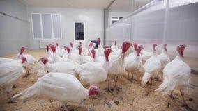 Kalkoenen met aanhangselsgang rond ruimte op gevogeltelandbouwbedrijf stock video
