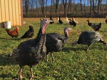 Kalkoeneneenden en kippen royalty-vrije stock foto