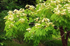 Kalkora di Albizzia (albero di seta persiano) in fioritura Fotografie Stock