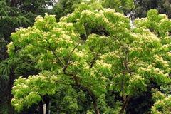 Kalkora do Albizzia (árvore de seda persa) na flor Fotografia de Stock Royalty Free