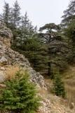 Kalkstein forground mit Libanonzedern im Hintergrund stockbild