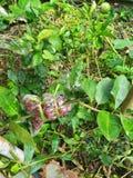Kalkverpflanzung Stockbild