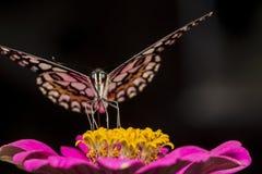 Kalkvlinder het voeden Stock Afbeelding