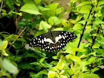 Kalkvlinder op Groen installatie-India Royalty-vrije Stock Fotografie