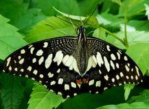 Kalkvlinder in Regenachtig seizoen-India Stock Afbeeldingen