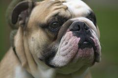 Kall Englis bulldogg Royaltyfria Bilder