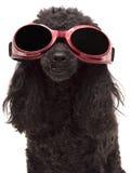 kall hund Royaltyfri Bild