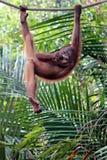 Kall orangutang Arkivbild