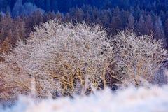kall snowvinter Träd för ensling två i vinter, snöig landskap med snö och dimma, vit skog i bakgrunden Rimfrost på th arkivfoto