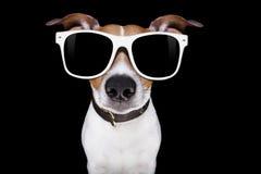 Kall solglasögonhund Arkivbild
