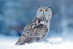 Kall vinter med den sällsynta fågeln Stor östlig Siberian Eagle Owl, Bubobubosibiricus som sitter på hög med insnöat skogbjörken Fotografering för Bildbyråer