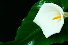 Kalla flower.White feces flower on a black background.Big white flower on black stock photo