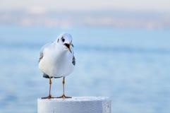 kalla främre lagd benen på ryggen siktsyellow för fiskmås tonåring Fotografering för Bildbyråer
