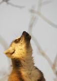kalla lemuren Royaltyfri Bild
