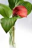 Kalla rouge avec feuilles rayées vertes dans un vase Images stock