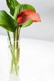 Kalla rouge avec feuilles rayées vertes dans un vase en verre Photo libre de droits