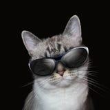 Kalla vita Cat With Party Sunglasses på svart Royaltyfria Bilder