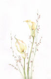 Kalla watercolor painting. The hand painted watercolor of the kalla flowers with grass Stock Photo