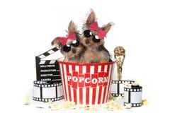 Kalla Yorkshire Terrier valpar som firar Hollywood filmer royaltyfri fotografi