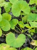 Kallade den nya gröna örten för closeupen Asiat Pennywort eller indisk penn Royaltyfria Bilder