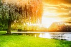 Kallat gulblekt träd på kusten av dammet i solnedgångljus royaltyfria foton