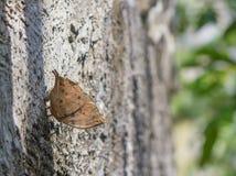 Kallima inachus Royaltyfria Bilder