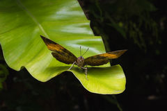 The kallima inachus butterfly bears a remarkable resemblance. To a dead leaf.On green leaf Royalty Free Stock Photos