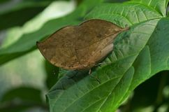 Kallima inachus, the orange oakleaf butterfly. Kallima inachus, the orange oakleaf, Indian oakleaf or dead leaf, is a nymphalid butterfly found in tropical Asia Royalty Free Stock Photography