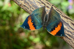 Kallima inachus with wings spread open, also known as orange oakleaf or dead leaf Royalty Free Stock Image