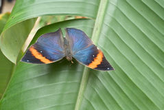 Kallima paralekta or Oak Leaf Butterfly Royalty Free Stock Photography