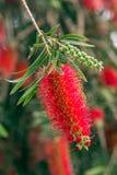 Kallistemon or red stigma or beautiful stitch, Stock Photos