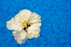 kallt hibiskusvatten Fotografering för Bildbyråer