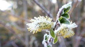 Kallt väder för återgångvår: frost på blommor stock video