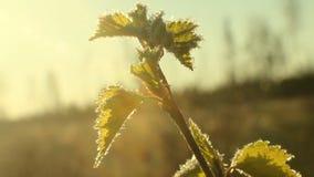 Kallt väder för återgångvår: frost på det gröna bladet lager videofilmer