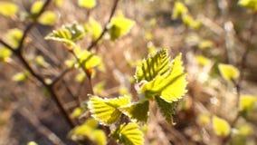 Kallt väder för återgångvår: frost på det gröna bladet stock video