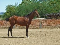 Kalm bruin paard royalty-vrije stock afbeeldingen