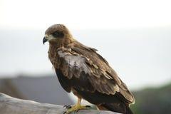 Kalm Eagle Royalty-vrije Stock Foto's